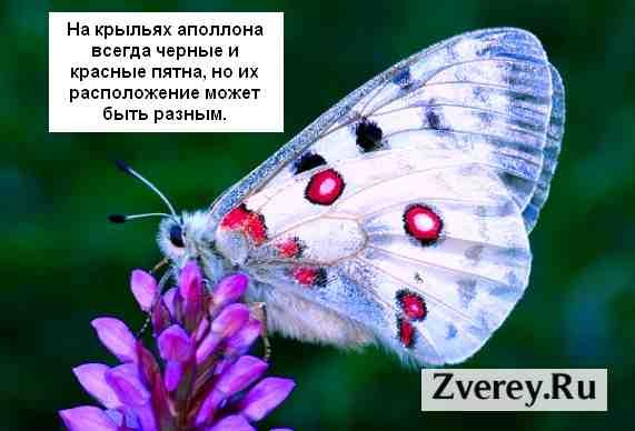 Фото бабочки аполлона