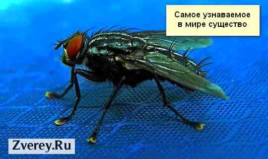 Комнатная муха Musca domestica: жизненный цикл, описание