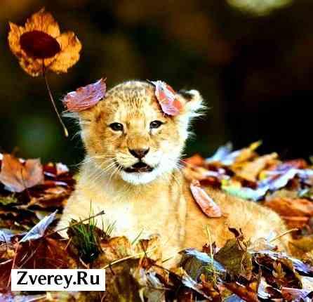 Игра детеныша льва