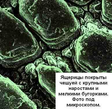 Фото под микроскопом чешуи ящерицы