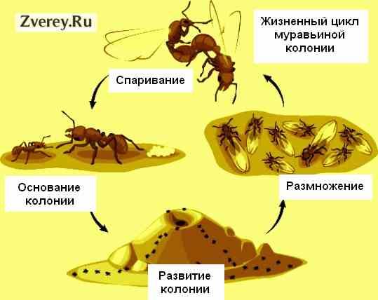 Развитие колонии муравьев