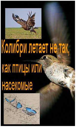 Особенности полета колибри