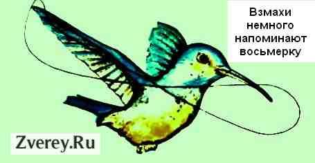 Как летают колибри - самые маленькие в мире птицы