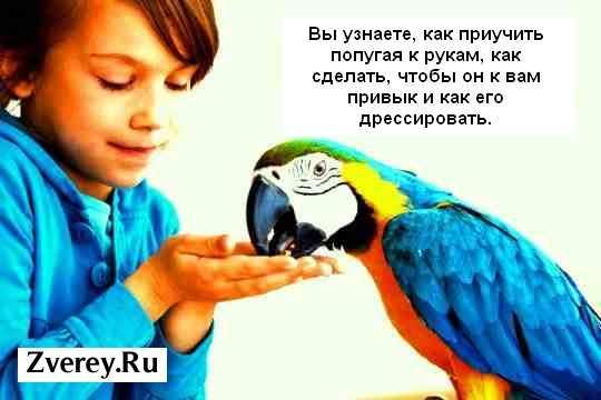 Как сделать чтобы попугай привык к руке
