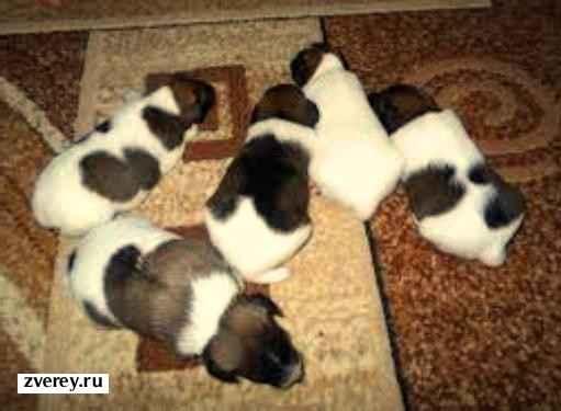 Собачки в квартире