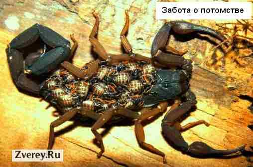 Скорпион с детенышами на спине