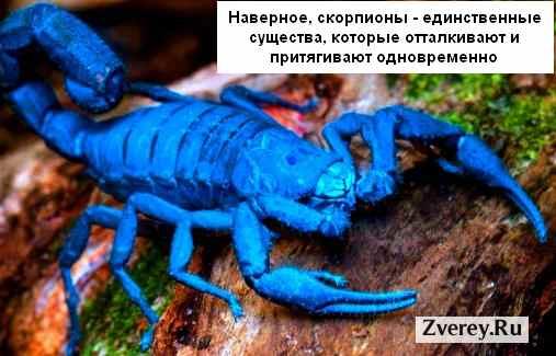 Красивый, но опасный скорпион