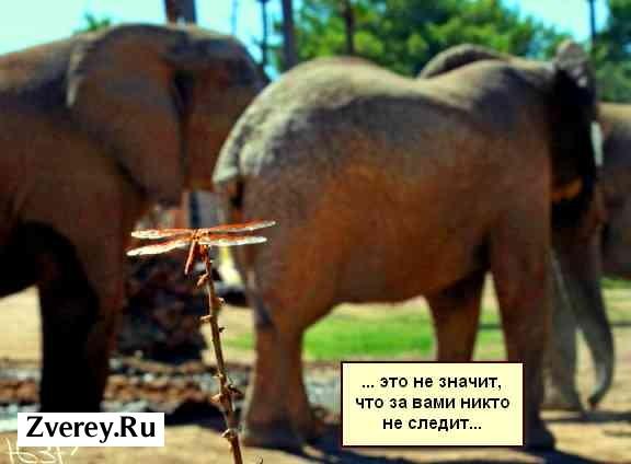 Стрекоза и слоны