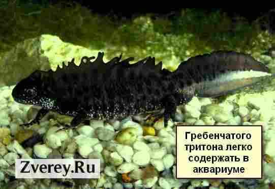 Особенности ухода за тритонами интересными амфибиями в аквариуме